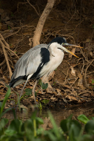 Animal Themes Animal Wildlife Animals In The Wild Bird Cocoi Heron Day Full Length Grass Gray Heron Heron Nature No People One Animal Outdoors
