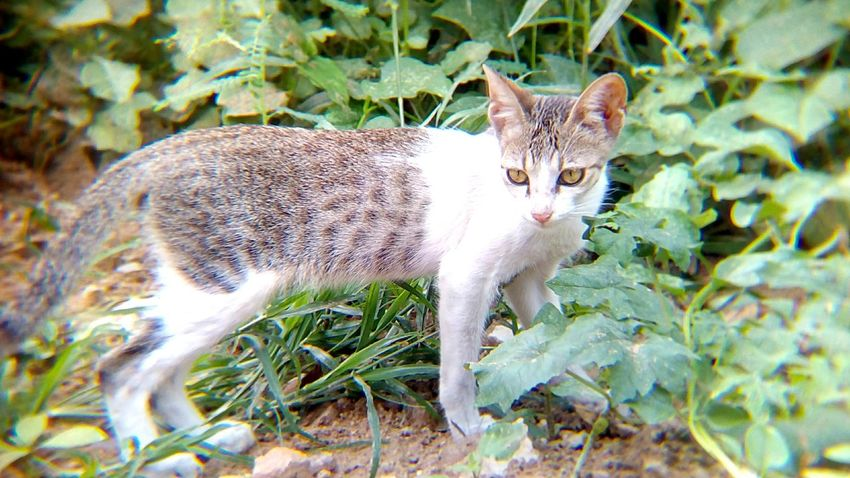 Domestic Cat Feline One Animal Mammal Animal Themes Pets Domestic Animals Portrait No People Day Outdoors Nature Close-up Shot With Mobile Clip Lens Cat Looking At Camera Animal Beauty In Nature Pet Portraits