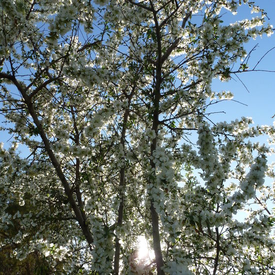 Almond Blossom 5 Petal Leaves Almond Blossom Almond Tree Beauty In Nature Beauty In Nature Blossom Blue Branch Day Growth Nature No People Outdoors Sky The Land Of Milk And Honey Tree White Blossom White Blossoms White Flower