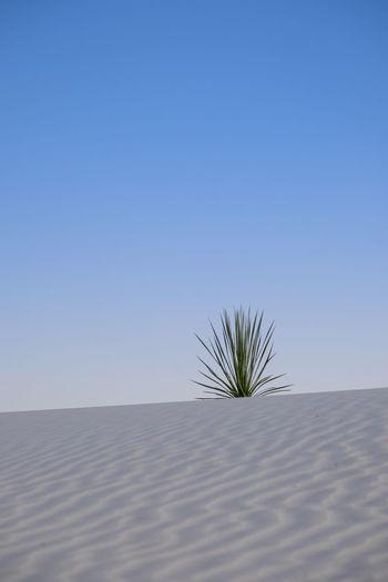 Plant on sand dune against clear blue sky