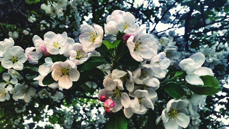 Blossom Blossoms  Blossoming  Blossom Tree Blossom Flowers Blossoming Fresh & Bright Blossoming Beauty Romantic