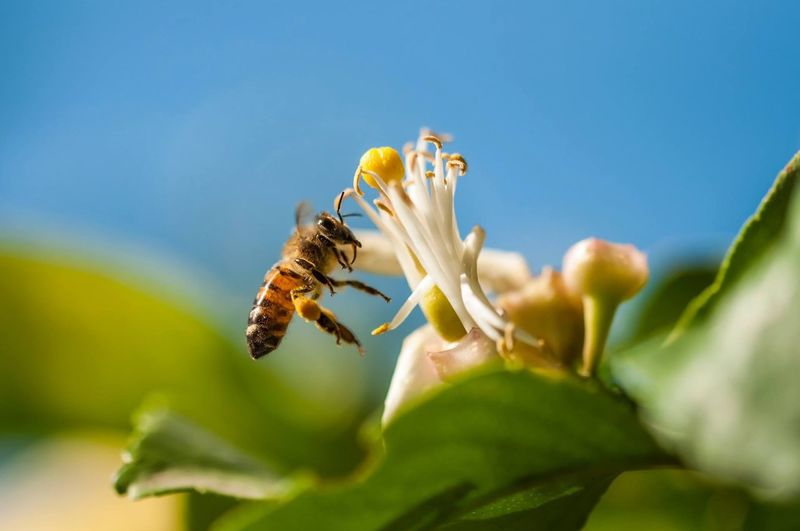 Macro Insects  Bee Nature My Best Photo 2015 This photo took me days of bee hunting through the lemon yard, waiting for the perfect moment and the perfect selective focus, really proud when I finally managed to capture it! Nature_collection Macro_collection Bees Macro Beauty