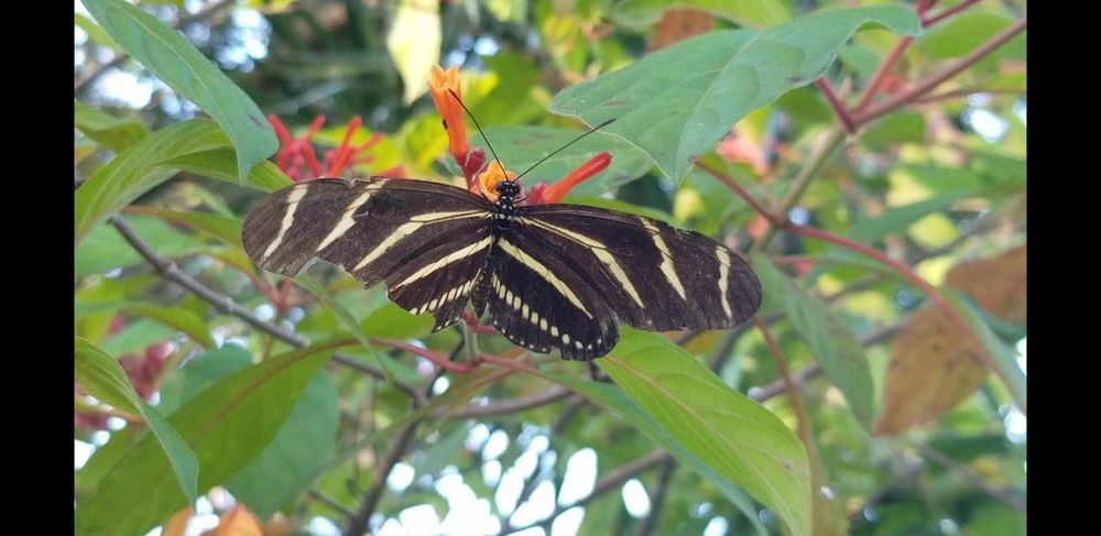 Zebra Longwing Butterfly Insect Leaf Butterfly - Insect Plant No People Close-up Flower Outdoors Perching Fragility Freshness Nature Day Full Length Focus On Foreground