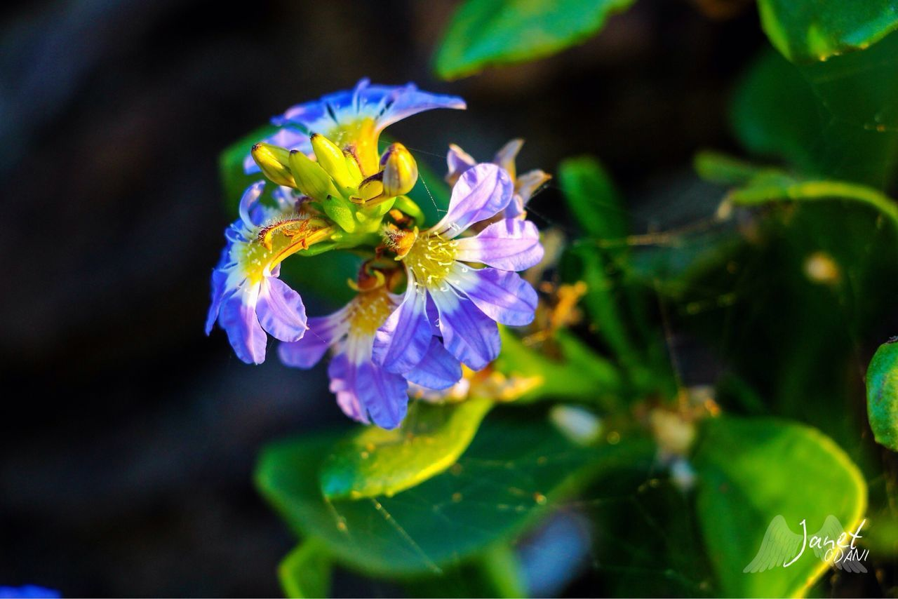 CLOSE-UP OF PURPLE FLOWERING PLANT AGAINST BLURRED BACKGROUND