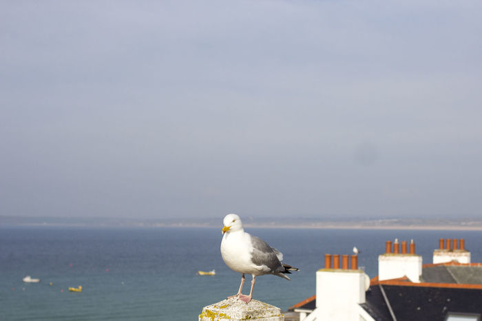 Animals In The Wild Seagulls Animal Themes Animal Wildlife Animals In The Wild Beach Beauty In Nature Bird Birds Cornwall Day England Focus On Foreground Horizon Over Water Nature No People One Animal Outdoors Rooftops Sea Sea Bird Seagull Seagulls And Sea Sky Water