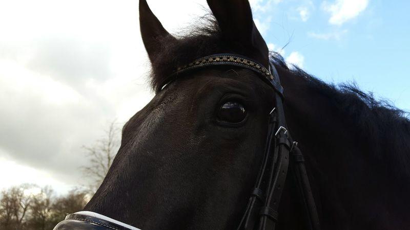 My Dune ❤ Horse Black Horse Kwpn Horseeye Eyes Nature Horsephotography