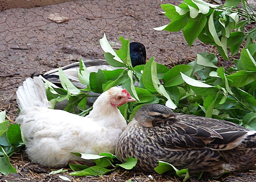 Animal Themes Bird Blanc Canard Coq Day Domestic Animals Feuilles Nature No People Outdoors Poule Poulet Vert