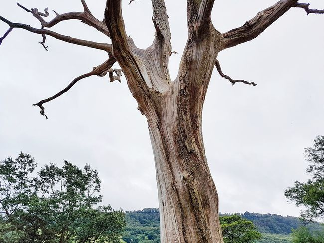 Tree Tree Trunk Nature Branch Beauty In Nature Outdoors No People Day Sky Lightning Tree Magical Tree Halloween Bark Bark Texture Magic Branches Tree Area Scenics Landscapes Tranquility Tree Trunk Nature Tree Yorkshire Eery