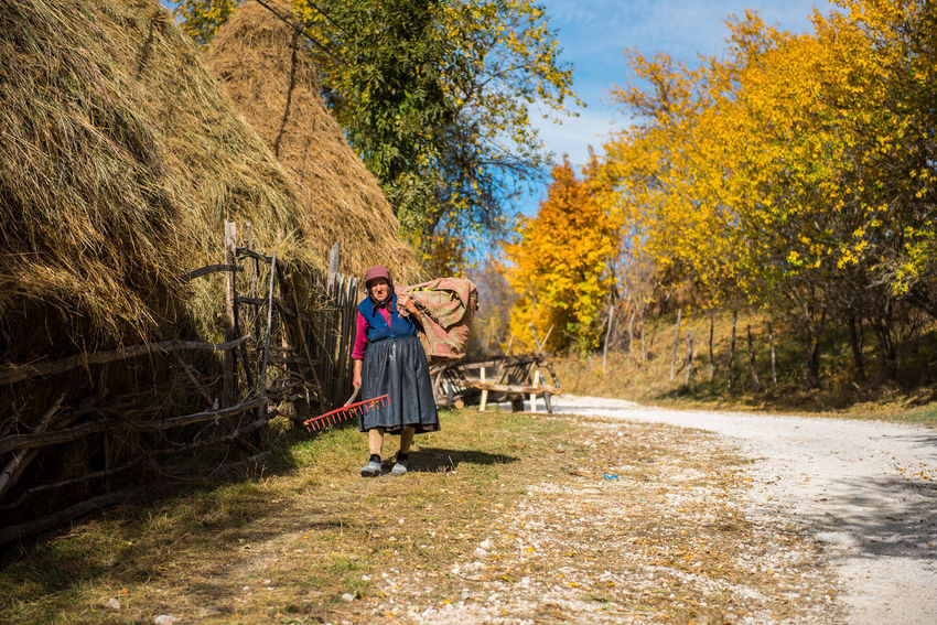 RAMET, ROMANIA - OCTOBER 19, 2017: An old woman carrying hay for livestock in the rural area of Transylvania at autumn Agriculture Autumn Autumn colors Carrying Country Road Life Road Romania Transylvania Woman Carrying Hay Countryside Elder Woman Fall Hay Leaves Mature Women Nature Old Woman Old Woman Carrying Bags Outdoors Thatched Roof Tree Village Village Life