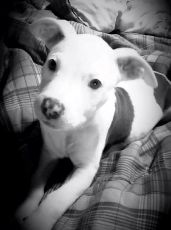One of my old favorites... My Baby pets Domestic Animals One Animal Indoors  Pitbulls PitPuppy Eye Of Ky Louisiana Pitbulllovers