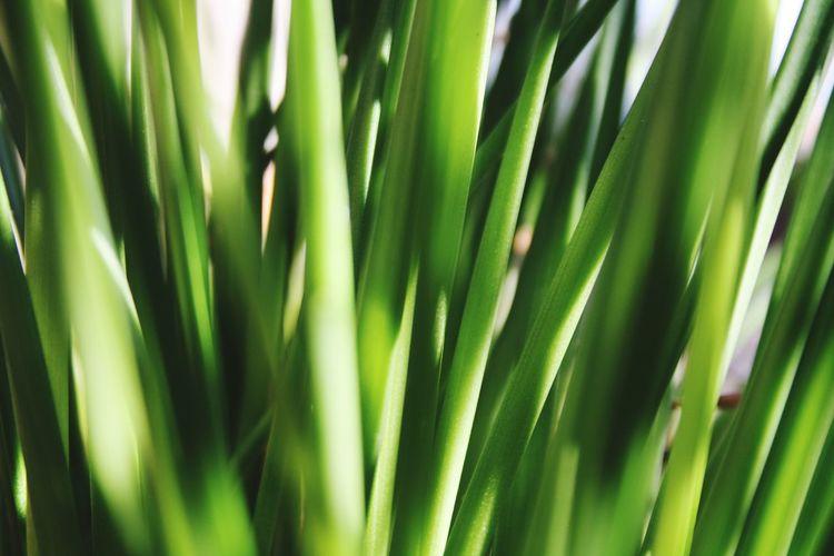 Fresh Garden Grass Closeupshot