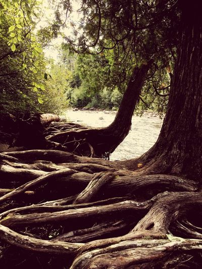 Tree Tree Trunk Nature Tranquility Growth Tranquil Scene Forest No People Day Outdoors Beauty In Nature Landscape Branch Scenics Patterns In Nature Roots River River Bank  EyeEm Nature Lover EyeEmNewHere Minnesota North Shore North Shore Minnesota Lost In The Landscape