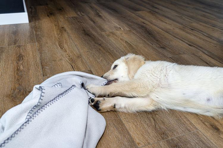 High angle view of puppy sleeping on hardwood floor
