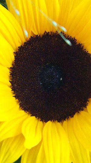 Sonnenblume 🌻