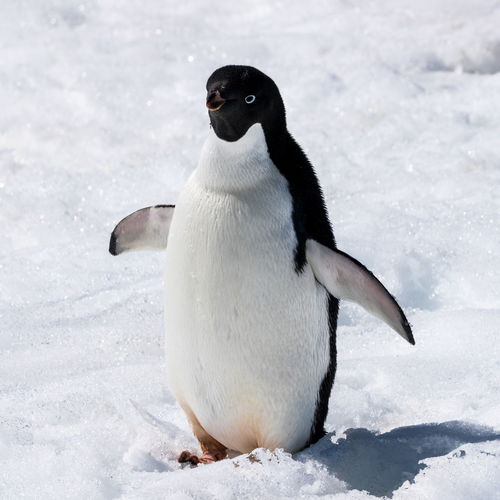 Rear view of penguin on frozen during winter