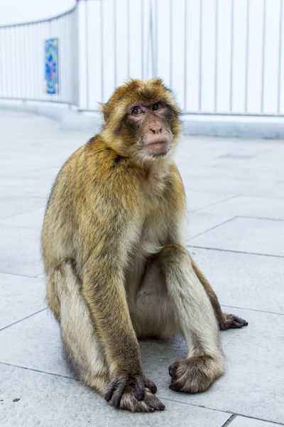 Animals In The Wild Macaque Macaque Monkey Monkey Nature Primate Showcase March Sitting