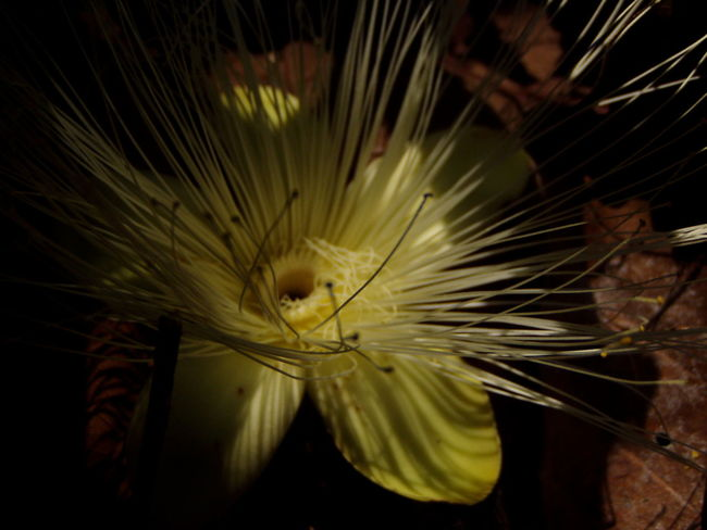 Amazon Amazonia Beauty In Nature Carajás Close-up Day Flower Flower Head Fragility Growth Nature No People Outdoors Para Parauapebas Plant Rain Forest