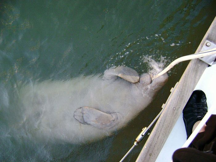 Manatee stopped along side of sailboat for a drink Holiday POV Manatee Manatees Boat Life Boatlife Boatside Biscayne Bay Biscaynebay Marine Life Sea Mammal Mermaids High Angle View Mammal Water Real People
