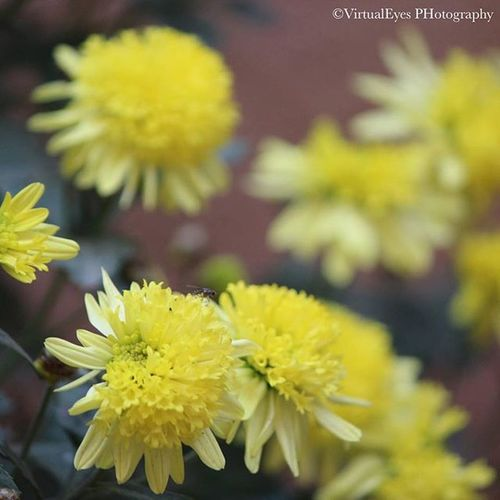 Mesmerized. 🌼 Virtualeyes Virtualeyesphotography Photography Nature Beauty Lens Camera Naturelover Naturelovers Beautiful Picoftheday Pictureoftheday Picture Love Flower Flowers Yellow Mesmerising Mesmerized Fly Buds Garden Morning Joy