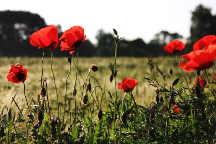 Flower Red Poppy Plant Nature Growth Field Uncultivated Beauty In Nature Fragility Flower Head Wildflower No People Freshness Social Issues Close-up Outdoors Springtime Day Grass Evening Sun Summer Botanical EyeEm Selects Beauty In Nature