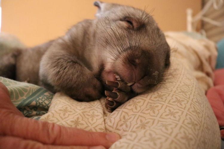 Animal Love Wombat  Sucking Thumb Rescued Australia Australian Wildlife Animal Nose Pet EyeEm Selects Pets Lying Down Sleeping Eyes Closed  Close-up Paw Napping At Home Animal Face Animal Ear