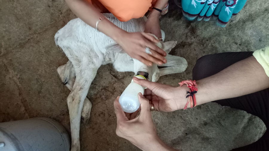 High angle view of man feeding milk to kid goat