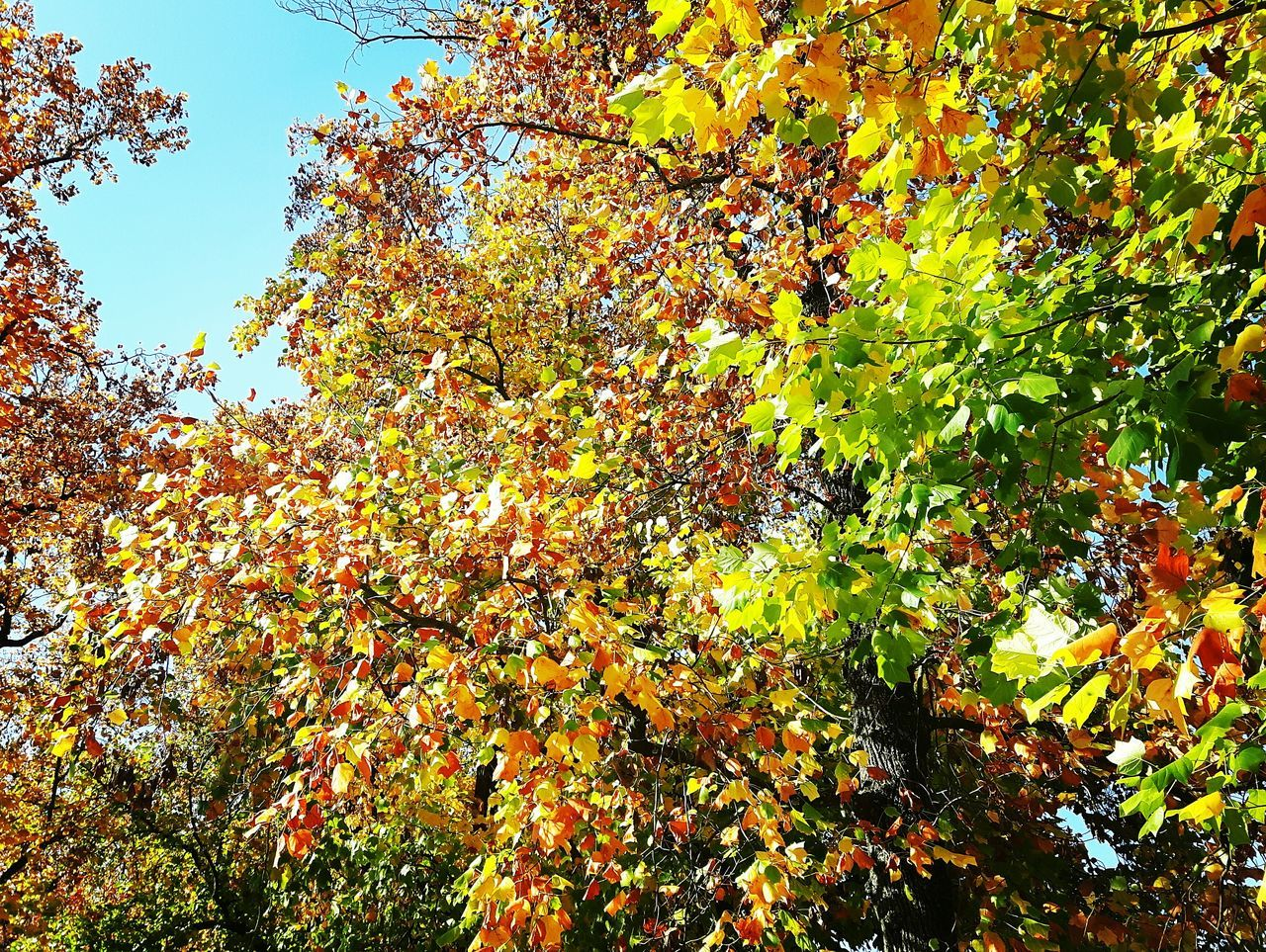 tree, growth, autumn, nature, leaf, beauty in nature, change, day, branch, low angle view, outdoors, no people, fruit, freshness, close-up