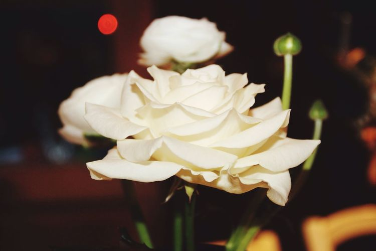 Beautiful Canonphotography Christmas Decorations White EyeEm Best Shots Eye4photography  Taking Photos Photography Roses Peace Peaceful Pure White Flower Nature Flowers