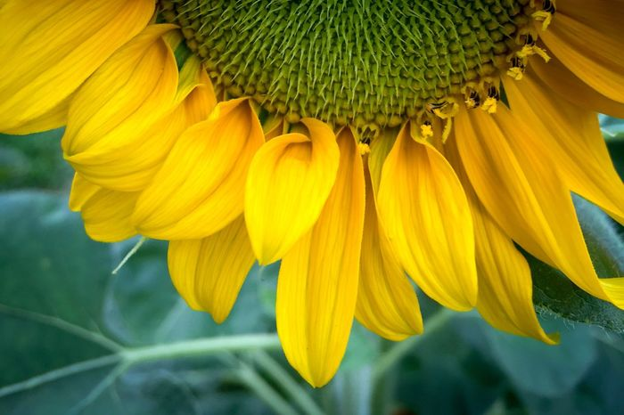 Flower Petal Fragility Yellow Ray Flower Sunflower Helianthus Giant Sunflower Helianthus Annuus Freshness Beauty In Nature Sunflower Head Green Color Leaf Plant Nature Close-up No People Blooming Pollen Springtime Outdoors Day November 2017 —