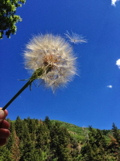 Beauty In Nature Blue Dandelion Nature No People Outdoors Plant Seeds Softness