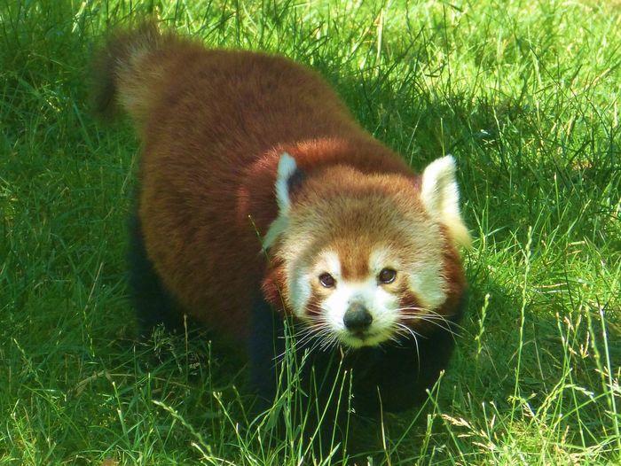 Animal Panda Roux Panda Roux Pet Portraits