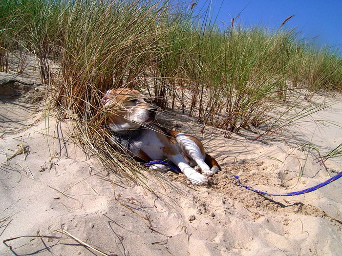 Animal Themes Animals In The Wild Beach Beagle Day Dog Domestic Animals Grass Mammal Manrico Marram Grass Nature No People One Animal Outdoors Pets Sand Water
