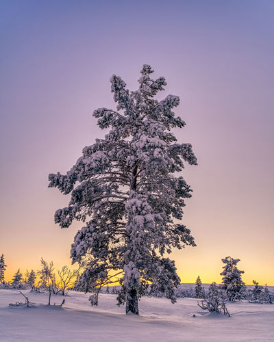 Trees on snow covered field against sky during sunset
