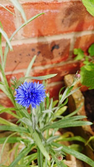 Against Brick Brick Background Cornflower Blue Flower Head Flower Leaf Close-up Plant Flowering Plant Plant Part Blooming Plant Life In Bloom