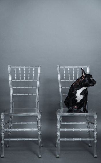 Alone Chairs Profile View Frenchie French Bulldog Frenchbulldog Pets Animal Themes Animal One Animal Transparent Film Industry Chair Arts Culture And Entertainment