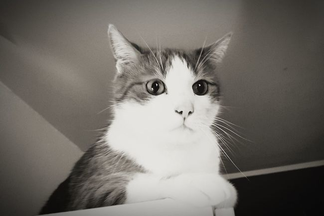 Sarah7790 Close-up Katzenliebe Pets One Animal Kater Animal Themes Deutschland Domestic Animals Cats Of EyeEm Cats Cat Blackandwhite Augenblick Beautiful Animal Domestic Cat Feline Indoors  No People Portrait Kitten Animal Photography Animal Portrait Cat♡