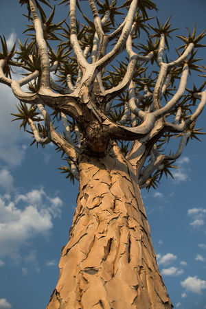 Low Angle View Namibia Nature No People Outdoors Quivertree  Quivertreeforest Sky Sunlight Tree