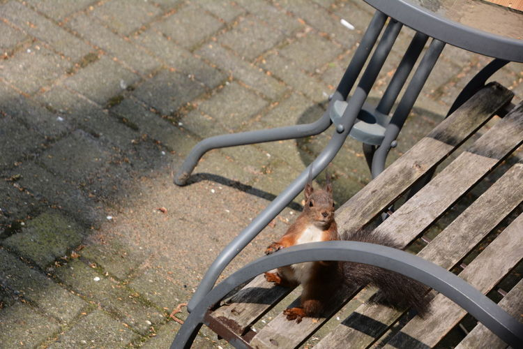 Squirrel Eichhörnchen Animals In The Wild High Angle View Seat Metal Day No People Footpath Chair Absence Outdoors Stone Paving Stone Street Nature City Wood - Material Transportation In A Row Fuel And Power Generation Close-up Wheel