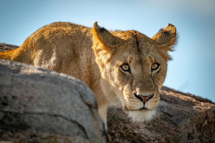 Portrait of big cat on rock against sky