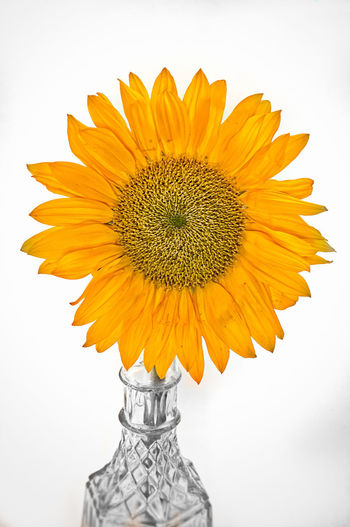 sunflower in a