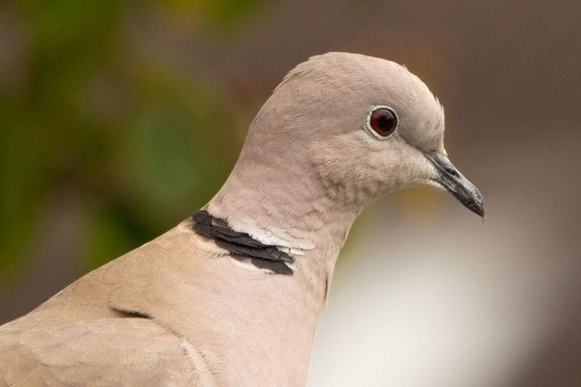 Pidgeon  Friesland Friesian Duif Tortel Animal Body Part Beak Animal Wildlife Closing No People Nature Outdoors