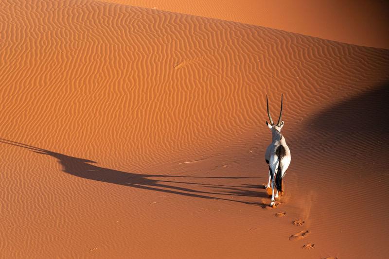 Oryx in the namib desert