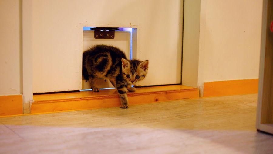 Kitten Entering From Pet Door In House