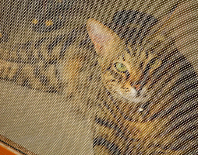 Bengal Cat Behind A Mesh Close-up Day Indoors  One Person People Young Adult Cat Calmness Protection Mesh Screen Wild Cats Tiger Cat Pet Portraits