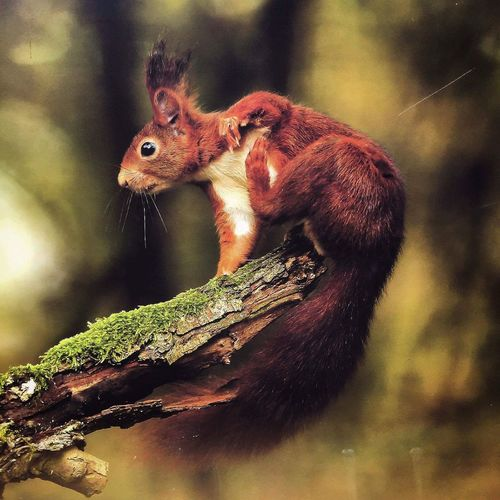 Close-up of eurasian red squirrel on wood