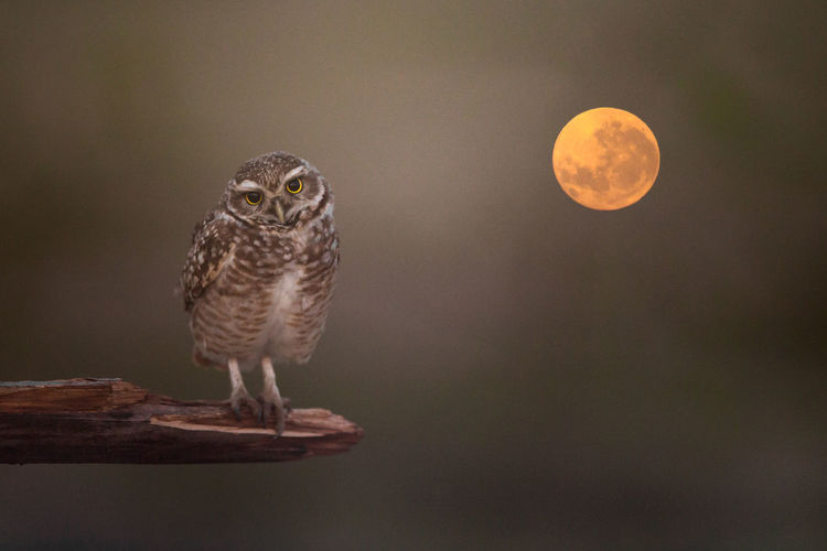 Close-up portrait of owl perching on tree against full moon in sky