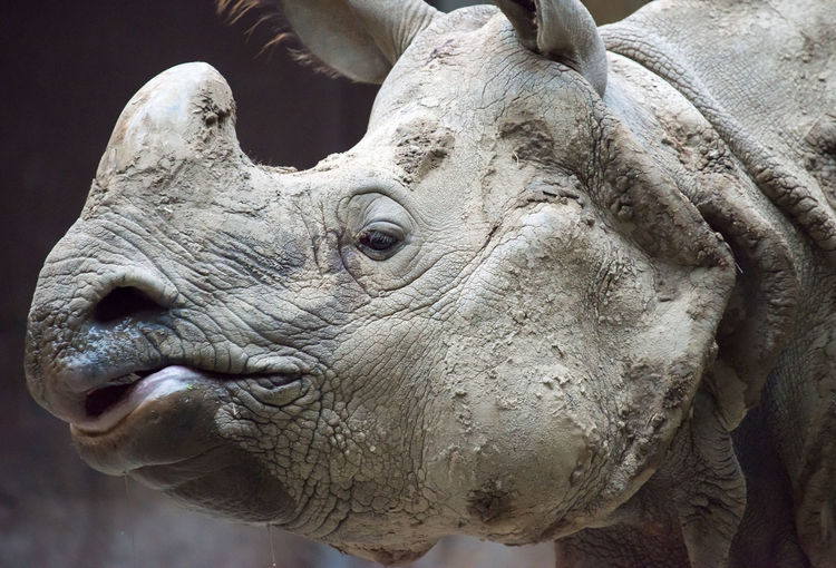 Side view of indian rhinoceros