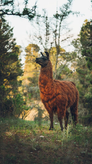 Llama standing in a field