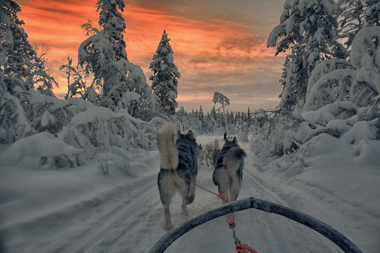 Sled dogs on snow covered road during sunset