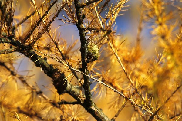 Lärche (Larix),Germany Lärchen Beauty In Nature Close-up Day Larix Nature No People Outdoors Tree
